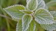 Close-up of frozen nettle leaves