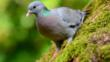 Stock dove in agricultural field