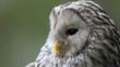 Ural owl portrait