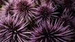 Colony of purple sea urchins
