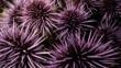 Colony of purple sea urchins