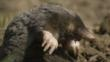 European mole climbing out of hill