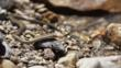 Hot spring snake on shoreline