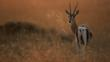Thomson&#039;s gazelle on savanna at sunrise