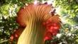 A giant titan arum flower
