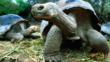 Giant tortoises