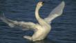 A displaying Bewick&#039;s swan