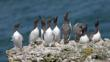 Colony of guillemots on cliff-top watching gull close overhead
