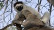 Verreaux&#039;s sifaka clinging to a branch