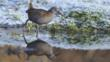 A wading water rail