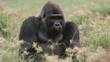 Male gorilla sitting amongst Congo sedge nutgrass