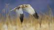 Marsh Harrier in flight over reed bed