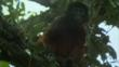 Western red colobus sitting in the branches of a tree
