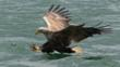 A white-tailed eagle over water (c) Kevin Robson