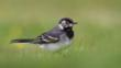 Pied wagtail in the grass (c) Keith Cochrane