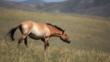 Przewalski&#039;s horse wandering the Mongolian steppe
