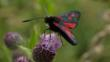 Five-spot burnet moth on a flower (c) Robert Carr