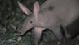 Aardvark walking at night
