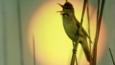 Great reed warbler singing with sun behind it
