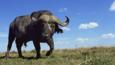 An African buffalo walking