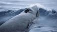 Antarctic minke whale surfacing in Antarctic waters