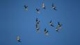 A small flock of Alpine swifts in flight