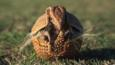 Armadillo rolling up into a defensive ball