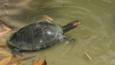 Giant arrau turtle in shallow water