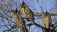 Three long-eared owls in a tree