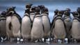 A group of Magellanic penguins on the beach