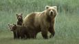 A grizzly bear with three cubs