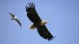 White-tailed eagle with wings spread being chased by a gull
