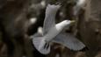 A kittiwake in flight