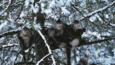 Yunnan snub-nosed monkeys in a snow covered tree