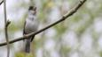 Blackcap perched on branch singing (c) Adrian Dancy
