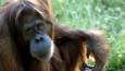 A Bornean orangutan