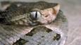 Coiled fer-de-lance snake