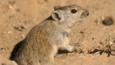 Brants's whistling rat at the entrance to a burrow in the sand