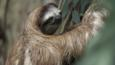 A brown-throated sloth clinging to a tree