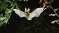 Brown long-eared bat flying through oak leaves