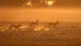 Three wild dogs on the move in morning mist