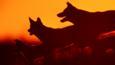 Dingo pack at sunset