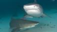 A lemon shark and tiger shark in the Bahamas