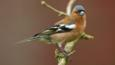 Chaffinch perched on branch surrounded by blossom
