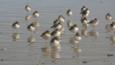 A group of New Zealand dotterels standing in water