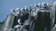 Black-legged kittiwakes at a clifftop colony