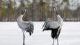 Common crane pair displaying