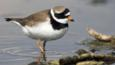 Ringed plover walking in shallow water