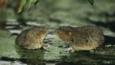 Two water voles threaten each other
