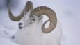 A white dall sheep ram, with curly horns, standing in snow